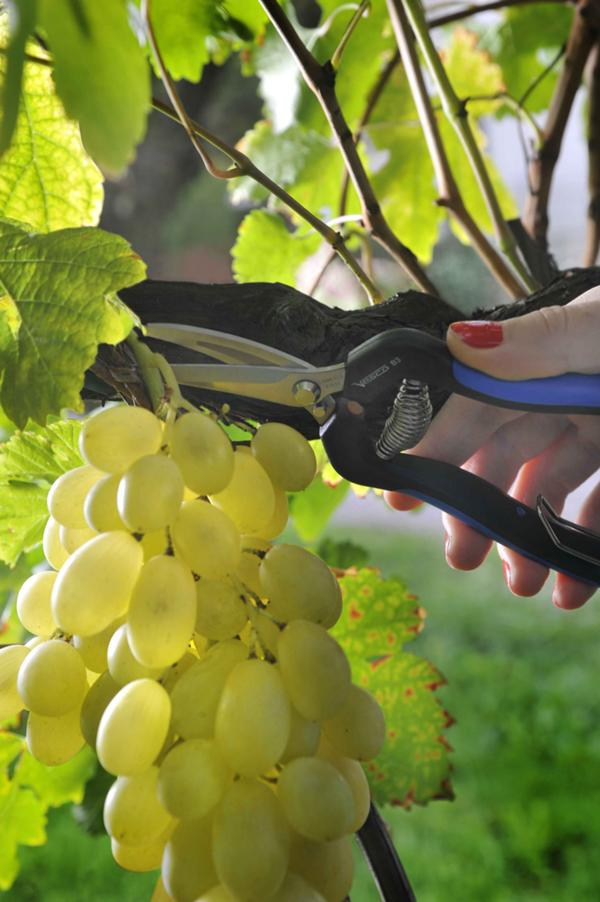 B3 - Grape cutting-and-cleaning shears